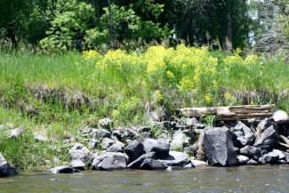Meeting to address leafy spurge as threat to Northwest Colorado agriculture