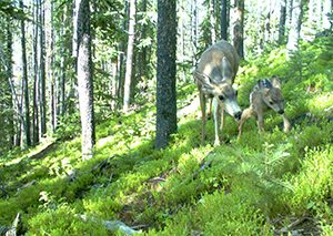 CPW study investigates wildlife response to forest conditions from bark beetle outbreaks in Colorado